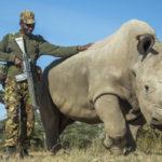 Последний самец белого носорога умер в Кении