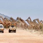 Стадо жирафов заблокировало и очаровало туристов в Кении