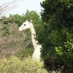 Белоснежных жирафов заметили в Кении
